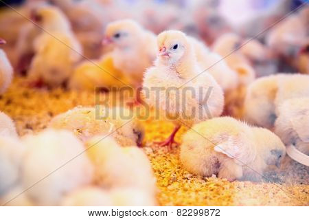 Small Chickens In Farm Incubator Or Coop