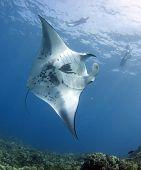 stock photo of manta ray  - A coastal manta ray  - JPG