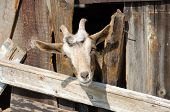 pic of animal husbandry  - Bearded goat looking through a wooden fence boards - JPG
