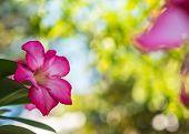 stock photo of desert-rose  - Desert rose or Impala lily with green leaves - JPG