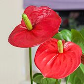 pic of arum lily  - Close up of red Flamingo flower  - JPG