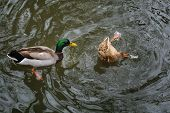 stock photo of duck pond  - two ducks playing in a pond sevilla - JPG