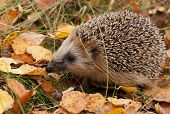 picture of european  - European hedgehog with leaves in autumn forest - JPG