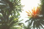 picture of palm  - tropical palm trees  with sunshine  on sky background - JPG