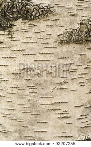 Birch Bark Texture Background