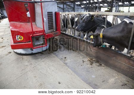 Black And White Cows In Stable Wait For Food From Feeding Robot