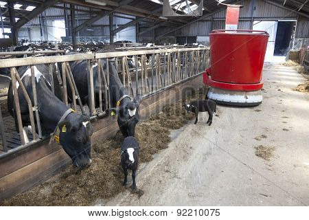 Black And White Cows In Stable Feed From Feeding Robot