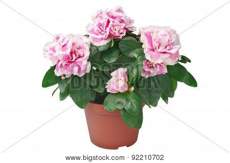 Azalea Flower In The Pot