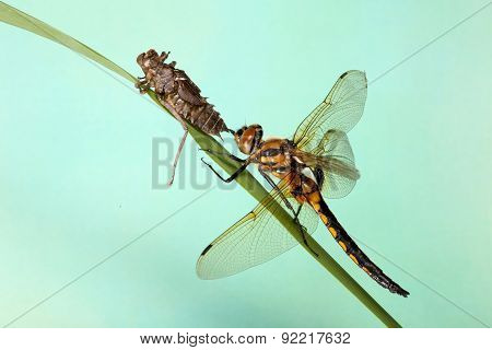 young dragonfly larvae crawl from.  Blue background. Metamorphosis