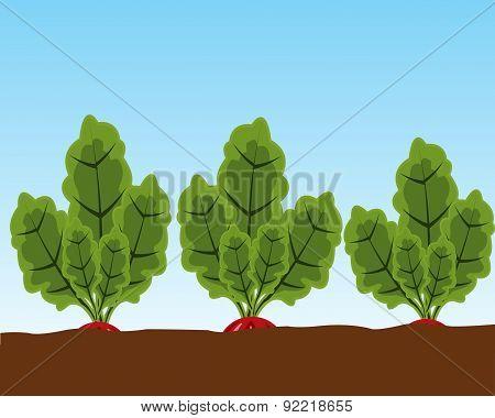 Vegetable radish in ground