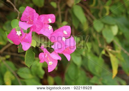 Bougainvillea Flowers - Pink Flowers At The Garden