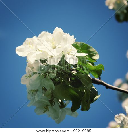 Blossom Branch Of Apple Tree On A Blue Background. Retro Photo. Close Up.