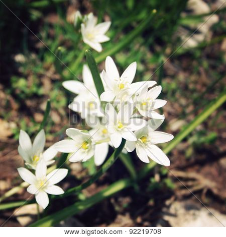 Allium Humile, Wild Onion Flowers. Aged Photo.