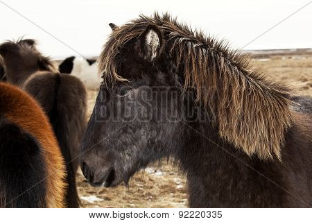 Portrait Of A Black Icelandic Pony With Brown Mane