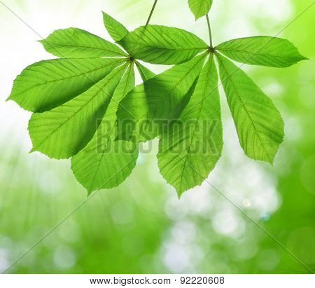 Spring leaves of chestnut tree (Aesculus hippocastanum) on natural blurred background
