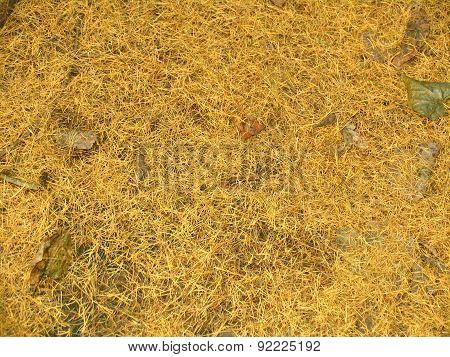 Yellow Needles Of Larch, Autumn Background, Texture