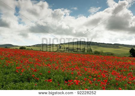 Poppies growing on the rolling hills of a Tuscan valley near Pienza in Italy