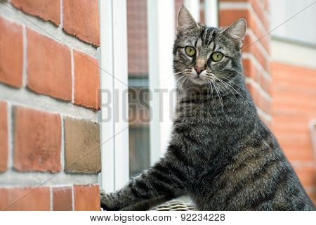 Tabby Cat Standing Outside At The Window Of A House