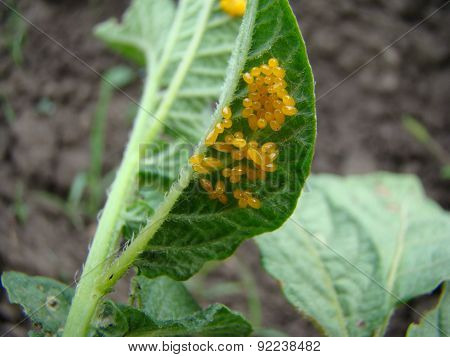 Clutches Of Eggs Of The Colorado Potato Beetle