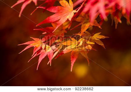 Colorful Autumn Leaf Season In Japan