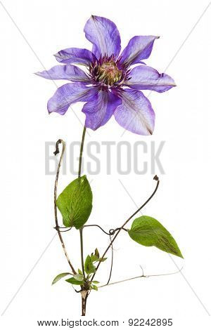 Closeup of single clematis flower isolated on white background