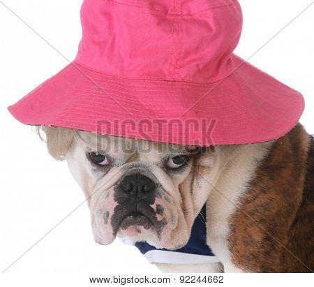 female dog wearing wig and hat on white background - bulldog