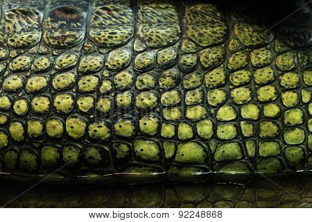 Skin texture. Gharial (Gavialis gangeticus), also knows as the gavial.