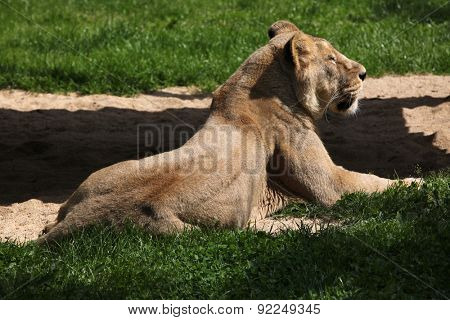Female Asiatic lion (Panthera leo persica), also known as the Indian lion.