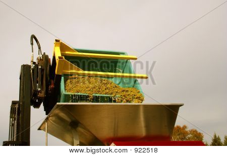 Riesling Grapes Dumped Into Hopper