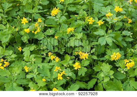 Thickets Of Flowering Celandine Plants