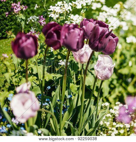 Beautiful Purple And Pink Tulips In Garden Tilt-shift