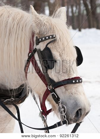 White Horse Ready For Sleigh Ride