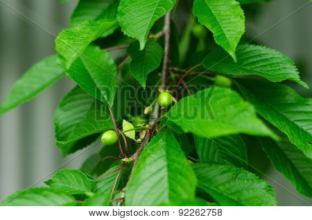 immature cherries in green leaves on the tree