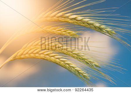 Unripe Wheat field on blue sky background