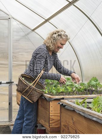 Woman Picking Salad Greens In Sunny Greenhouse