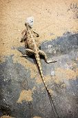 stock photo of steppes  - Beautiful Steppe agama  - JPG