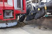 stock photo of feeding  - black and white cows in stable reach for food from red feeding robot - JPG