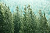 image of ecosystem  - Healthy big green coniferous trees in a forest of old spruce fir and pine trees in wilderness area of a national park - JPG