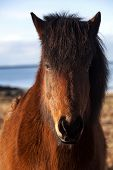 image of pony  - Brown icelandic pony on a meadow in Iceland - JPG