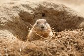 foto of prairie  - photo of a prairie dog with dried grass in it - JPG