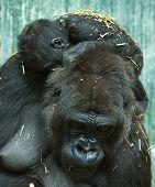 image of gorilla  - photo of a baby gorilla asleep on mums back - JPG