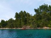 picture of juniper-tree  - The flora with the Aleppo spruce fir trees and the Marquis or macchia shrubland of the Lovisce bay of the Croatian island Scedro in the Adriatic sea - JPG