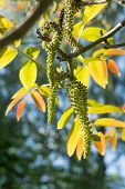 picture of walnut-tree  - branch of a walnut tree with flowering catkins and young leaves vertical close up shot - JPG