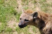 stock photo of hyenas  - A closeup of the head of a hyena - JPG