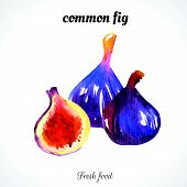 image of exotic_food  - Watercolor common fig - JPG