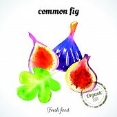 picture of common  - Watercolor common fig - JPG