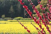 foto of rape  - Red peach blossom in full of rape fields - JPG