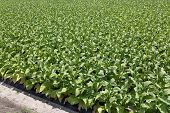 pic of tobacco leaf  - Tobacco plantation green leaf tobacco in field - JPG