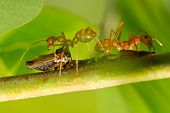 image of leaf insect  - Close up of kind of insect and red ants on branches with blurred background of green leaves - JPG