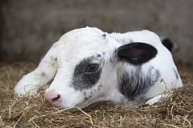 picture of calf  - very young black and white calf lies in straw of barn - JPG
